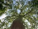 Могучее дерево!