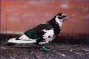 Одноногий голубь