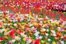 Тюльпаны на Спивочем поле