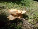 вот такие грибы растут рядом с фуникулером.