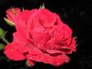 Розы с маминой клумбы))