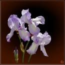 Півники / Iris