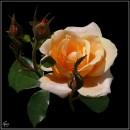 Троянда / Rose / Rosa * #1