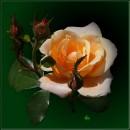 Троянда / Rose / Rosa * #2