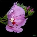 Гібіскус сирійський, кетмія, сирійска троянда / Rose of Sharon, Shrub Althea, Rose Althea / Hibiscus syriacus