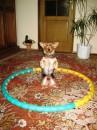 Любимый четыреногий друг - Бим настраивается на танец в кольце. Частная квартира в г. Мостисска, Львовской обл.