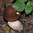 Грабовик / Leccinum carpini