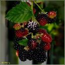 Ожина, виприни, бамбара, бамбера / Blackberry  / Eubatus