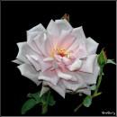 Троянда / Rose / Rosa