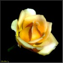Троянда / Rose / Rosa * http://video.bigmir.net/show/239353/