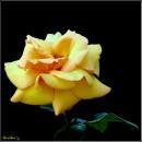 Троянда / Rose / Rosa * http://video.bigmir.net/show/239353/ * http://video.bigmir.net/show/241291/