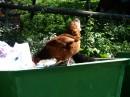 Питание у карпатских куриц круглосуточное. Разнообразное.