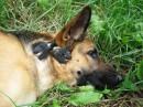 Ода дружбе между немецкой овчаркой и двумя птенцами ласточки, которые спаслись после падения гнезда.