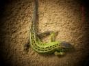 Луговая ящерица:)