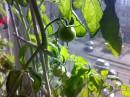 Фото, илюстрирующее одно из моих хобби - выращивание овощей и цветов в условиях городской квартиры...