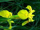 Цветы расцветают в конце мая и цветут целое лето,радуя своей своеобразной красотой.