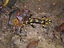 Саламандра на прогулке, поймана в лесу.  Видимо, как и мы пошла за грибами