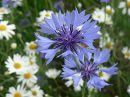 Полевые цветы - самые простые и милые