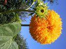 Декоративный подсолнух,1м85см ,вырос в экологически-чистой почве