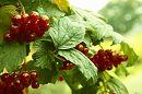 Подруга Осень сентябрем открыла Свой яркий разноцветный карнавал. Калина гроздья красные раскрыла. Их сластью терпкой холод пропитал.