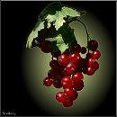 Порічки або Смородина червона / Redcurrant / Ribes rubrum