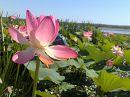Экскурсии в цветущие поля лотоса от астраханской гостиницы Интурист Спа. www.asthotelin.ru