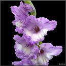 Гладіолус / Gladiolus