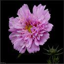 Космея /  Garden cosmos or Mexican aster / Cosmos bipinnatus