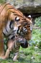 ррррр...тигрики....