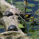Європейська болотна черепаха / European pond turtle (also called the European pond terrapin / Emys orbicularis