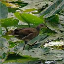 Водяна курочка  / Common Moorhen,  Common Gallinule /  Gallinula chloropus
