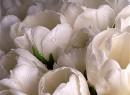 Хочу нежности и тюльпанов