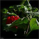 Калина звичайна, червона калина,  карина, калена, калинина / Guelder Rose, Water Elder, European Cranberrybush, Cramp Bark, Snowball Tree / Viburnum opulus