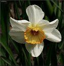 Нарцис / Narcissus
