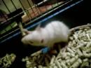 Мой крыс =)) Назвала его Бусиком. :)