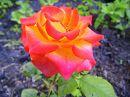 Июньская роза