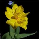 Тюльпан / Tulip / Tulipa