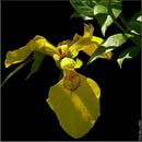 Півник болотний / Iris pseudacorus
