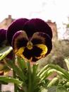 И анютиных глазок стая Бархатистый хранит силуэт - Это бабочки, улетая, Им оставили свой портрет.  Анна Ахматова