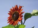 Подсолнухи пахнут Солнечной свежестью. Ещё, обязательно, Утренней нежностью. И пахнут всегда, Не смотря на погоду. Взгляните на них И забуд