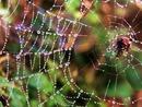 Мокрый от росы паук