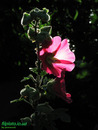 Вечерний цветок