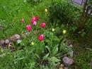 Первые тюльпаны 2019 года