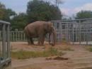 киевский слоник