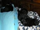 Мои котярки встретили НГ нежась в кровати :)
