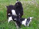Это мои козлята в селе!!!!!!!!!