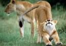 """КотЫ..........хоть и бальшие....."""")))))))"""