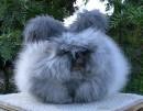 это ангорский кролик
