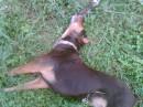 Любимый пес-барбос