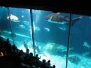 Акулы в аквариуме!!! Если кто хочет может заплатить денежки и поплавать рядом))